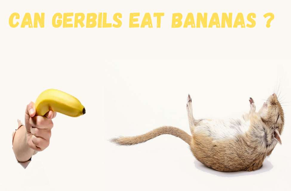Can gerbils eat bananas