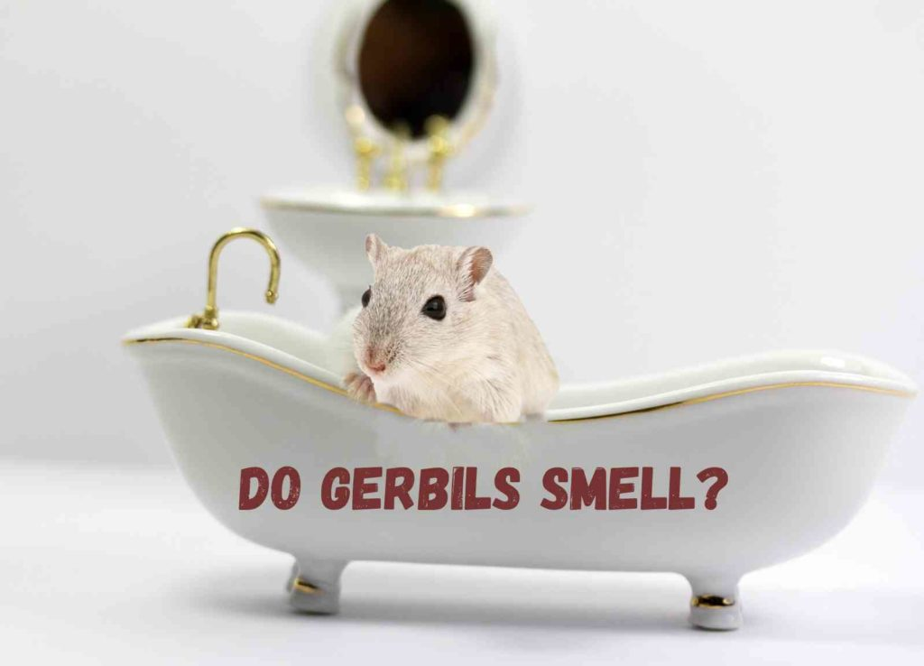 Do gerbils smell