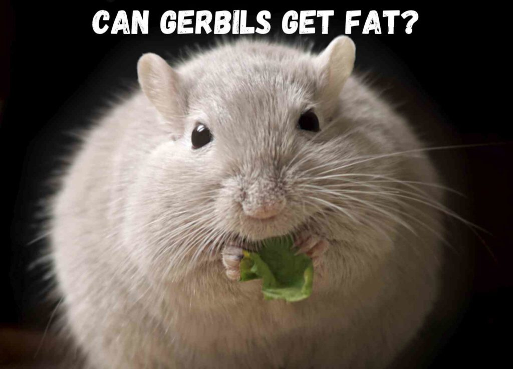 fat gerbil