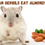 Can gerbils eat almonds