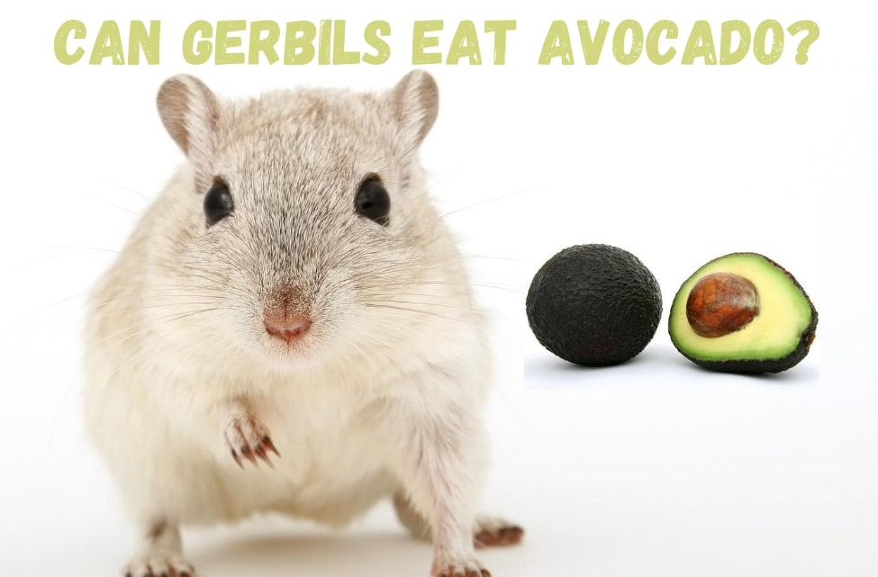 Can gerbils eat avocado