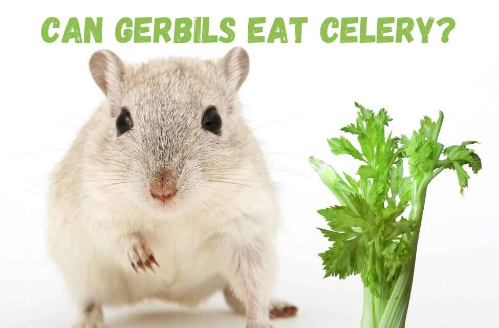 Can gerbils eat celery
