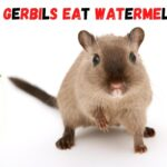 Can gerbils eat watermelon