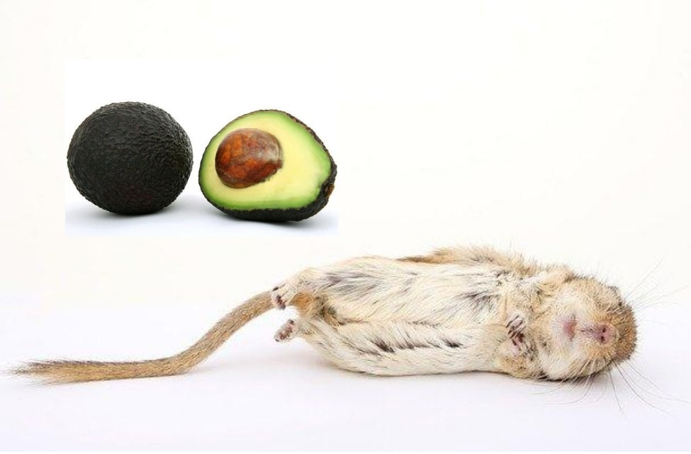 Is avocado safe for gerbils