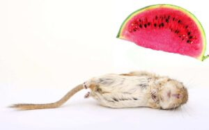 Is watermelon safe for gerbils