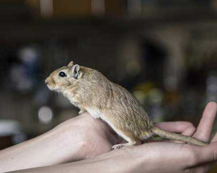 correct way to hold a gerbil