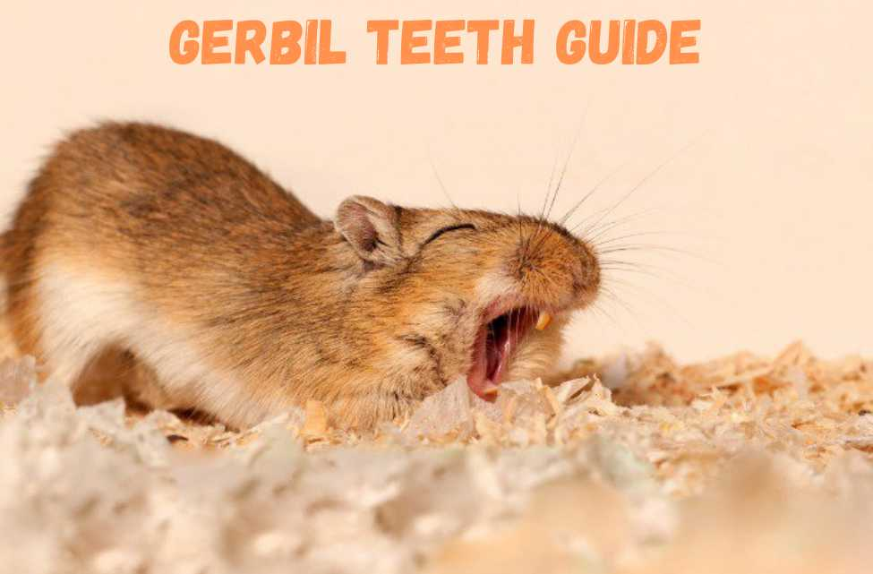 gerbil teeth