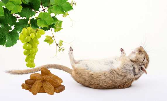 Are grapes and raisins good for gerbils