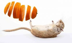 Are oranges safe for gerbils to eat