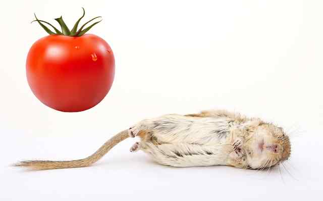 Are tomatoes safe for gerbils