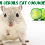 Can gerbils eat cucumber