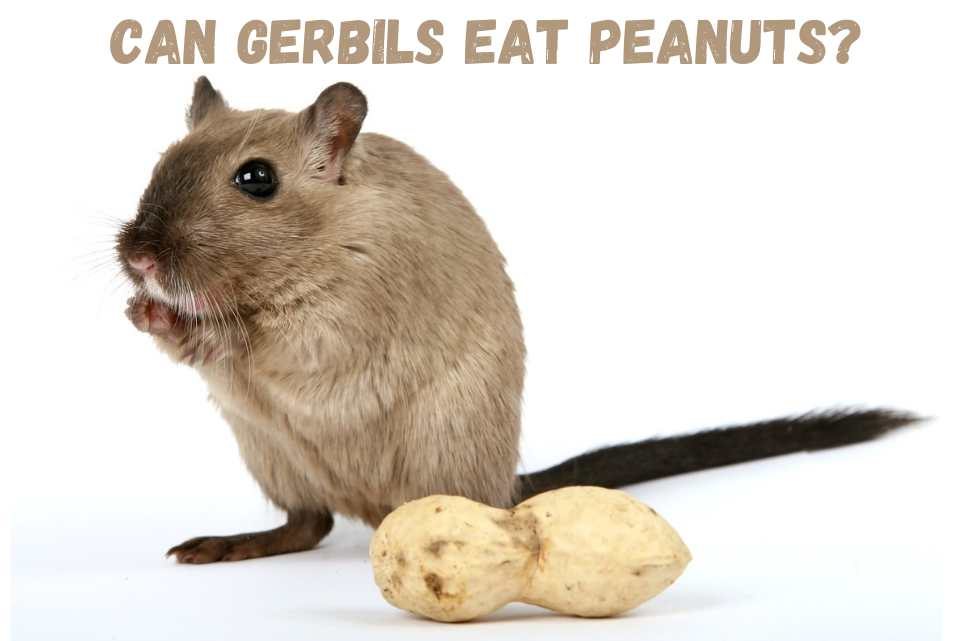 Can gerbils eat peanuts peanut butter peanuts in shells