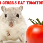 Can gerbils eat tomatoes
