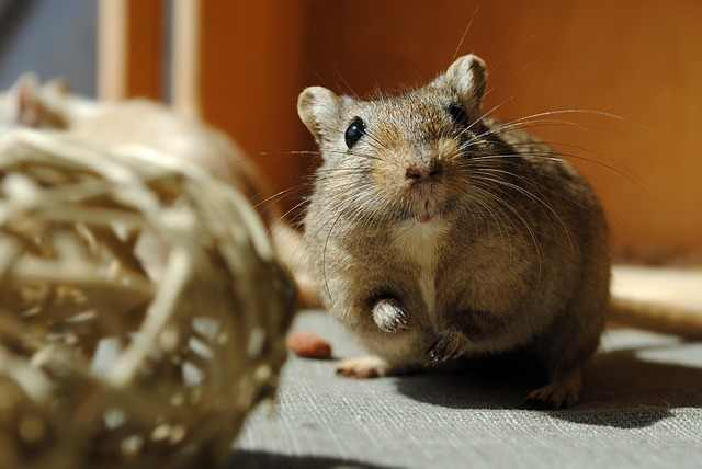 Gerbil yipping sounds