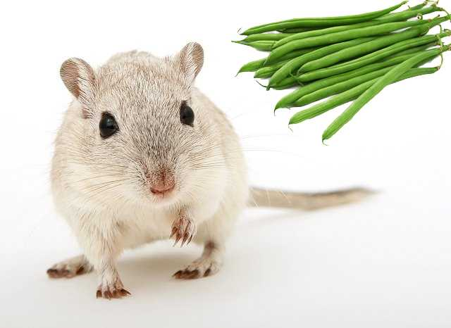 are green beans safe for gerbils