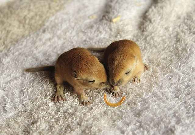 can baby gerbils eat mealworms
