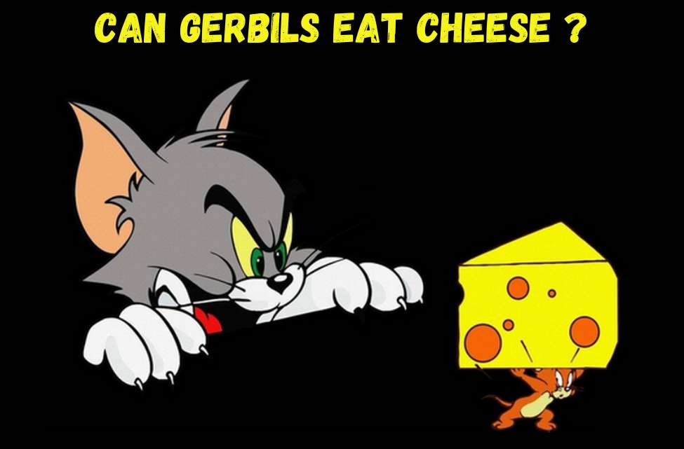 can gerbils eat cheese