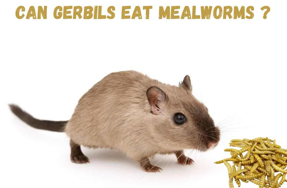 can gerbils eat mealworms