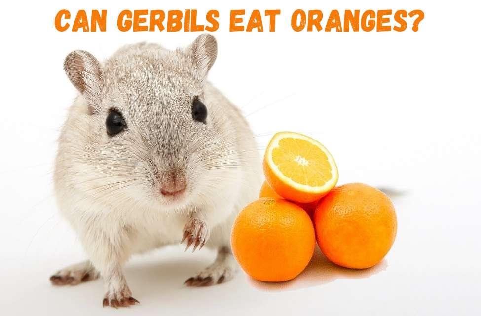can gerbils eat oranges