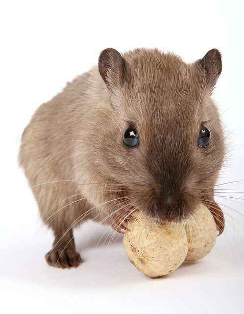 can gerbils eat peanuts in shells