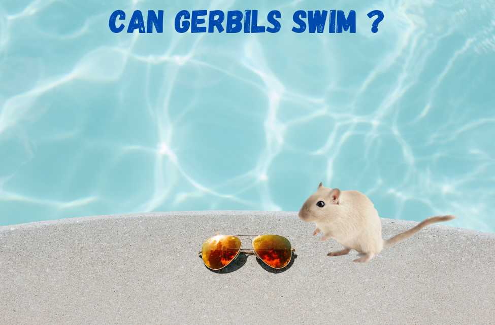 can gerbils swim