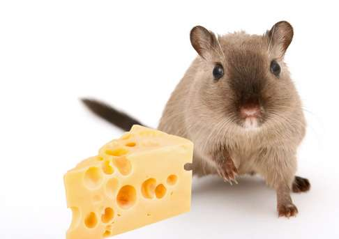 is cheese safe for gerbils