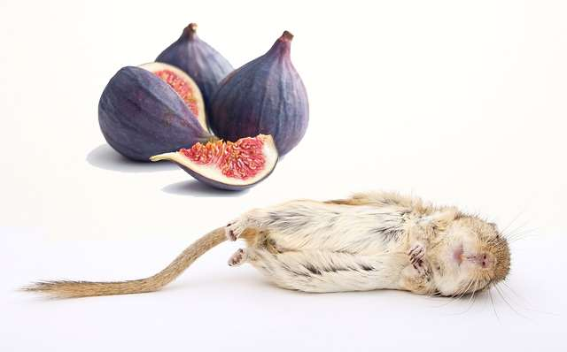 are figs safe for gerbils