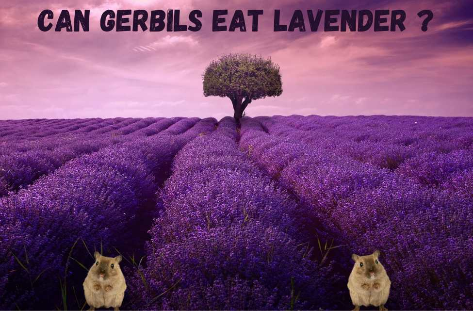 can gerbils eat lavender
