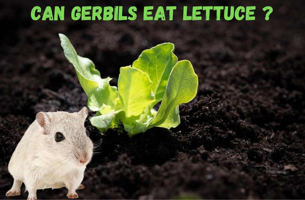 can gerbils eat lettuce