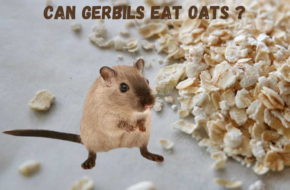 can gerbils eat oats