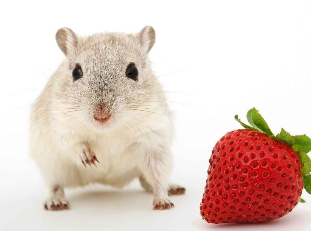 are strawberries safefor gerbils